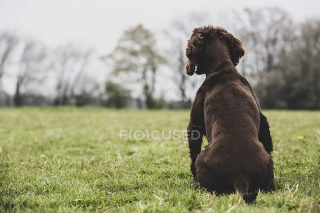 Rear view of brown Spaniel dog sitting in green field. — стокове фото