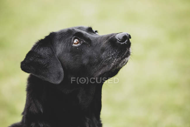 Close-up of Black Labrador dog looking up outdoors. — Photo de stock