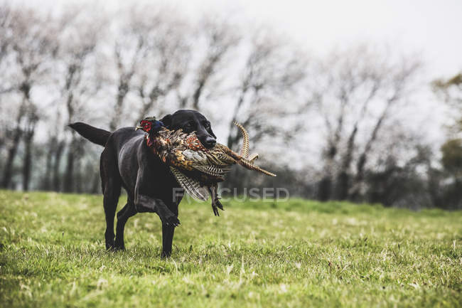 Black Labrador dog running across green field while retrieving pheasant. — Stock Photo
