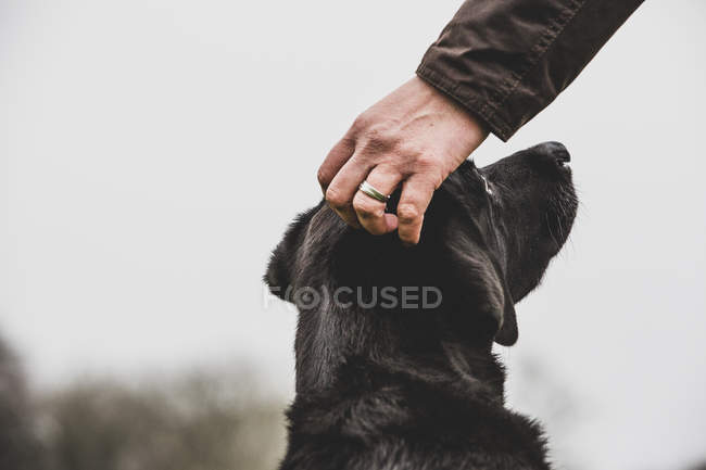 Close-up of person hand stroking Black Labrador dog head. — стокове фото