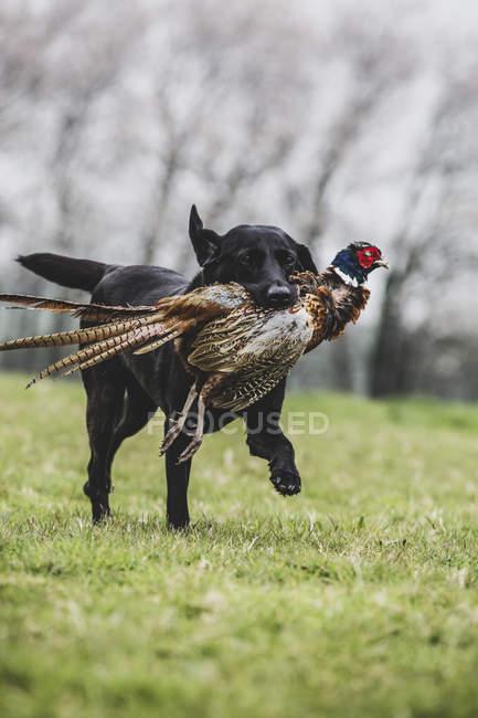 Black Labrador dog running across green field while retrieving pheasant. — Stock Photo