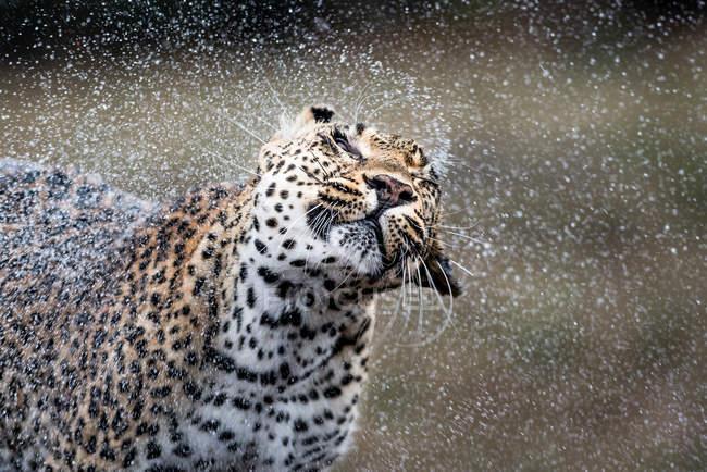 Леопард трясет воду, капли в воздухе, глаза закрыты, Африка — стоковое фото