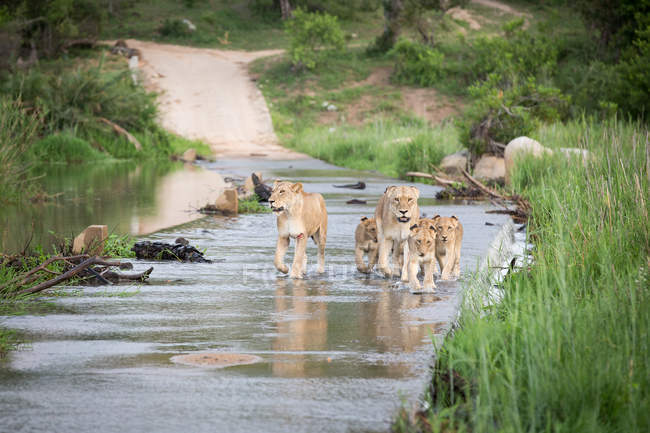 Pride of lionesses and cubs crossing river, looking away, flanked by greenery in Africa — Fotografia de Stock