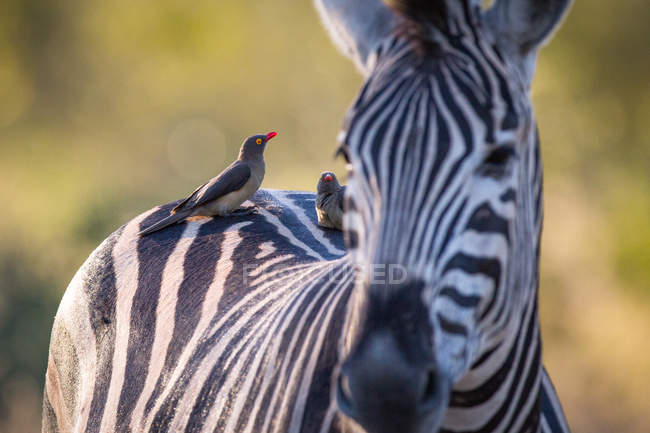 Red-billed oxpeckers perched on back of zebra in Africa — Foto stock