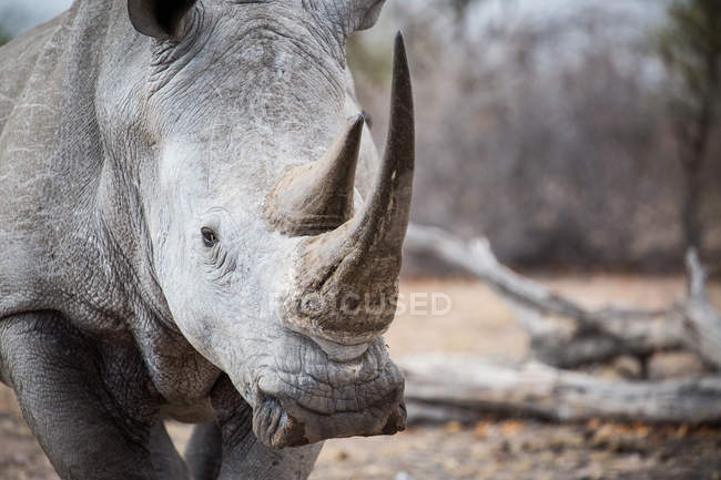 Close-up of white rhinoceros bull standing in reserve, looking in camera, Africa — Foto stock