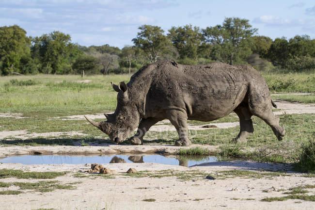 White rhinoceros walking near waterhole in grassland of Africa — Foto stock
