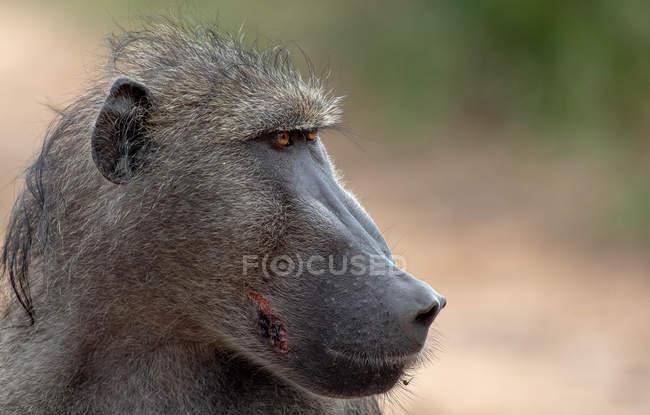 Profil portrait de singe babouin regardant loin en Afrique — Photo de stock