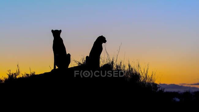 Силуэты двух гепардов, сидящих на термитях на закате в Африке — стоковое фото