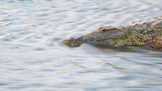 African crocodile camouflaged in flowing water of river in Africa — Stock Photo