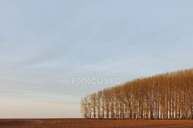 Grove of commercially grown poplar trees in countryside field — Stock Photo