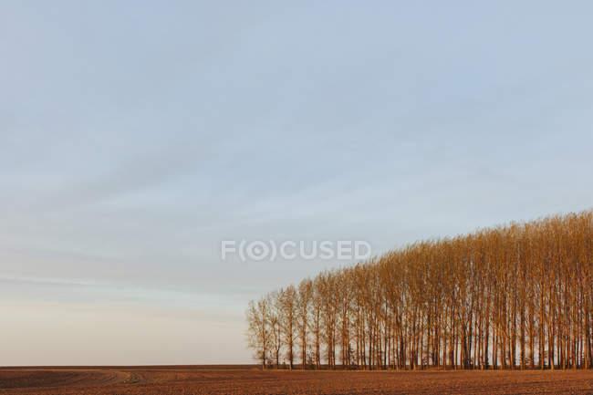 Роща тополей, выращенных в сельской местности — стоковое фото