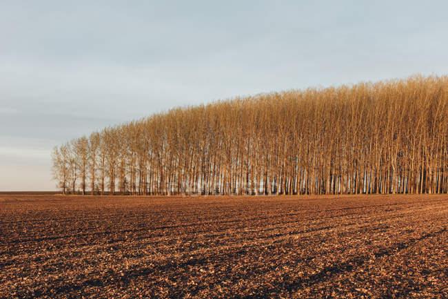 Гай комерційно вирощених дерев Тополя в сільській місцевості області — стокове фото