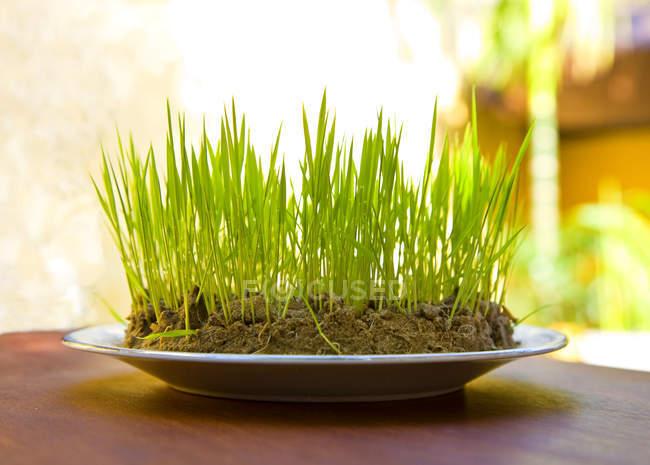 Декоративная трава, растущая в почве на тарелке на столе — стоковое фото