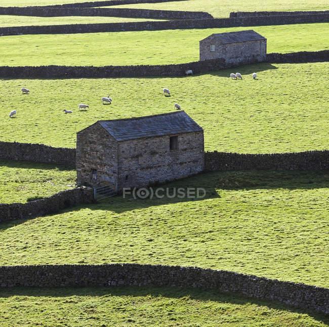 Кам'яні сараї та випас овець у пасовищі, Гюннерсайд-низ, Велика Британія — стокове фото