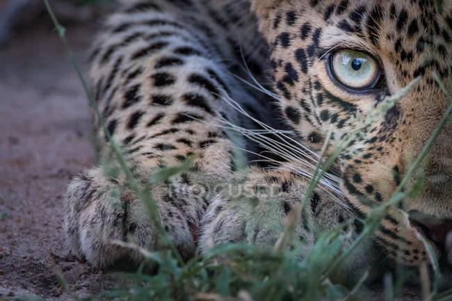 Половина леопардового лица, приседает низко к земле, зеленый глаз, смотрит в камеру, Национальный парк Большого Крюгера, Африка . — стоковое фото