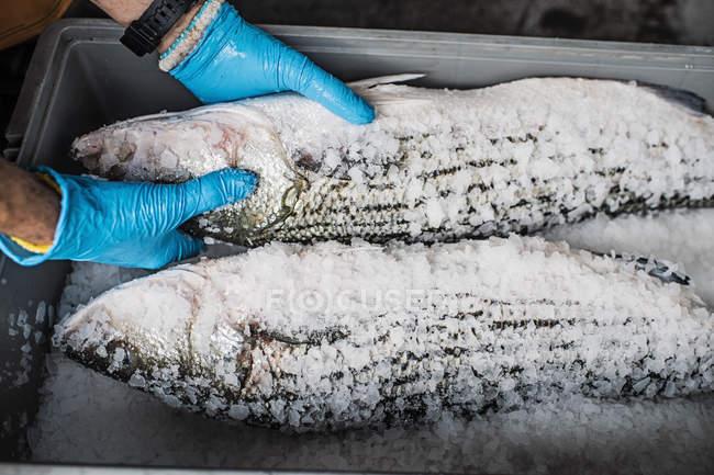 Руки в рукавичках проведення свіжої риби на рибний ринок зрив покриті льоду і солі. — стокове фото