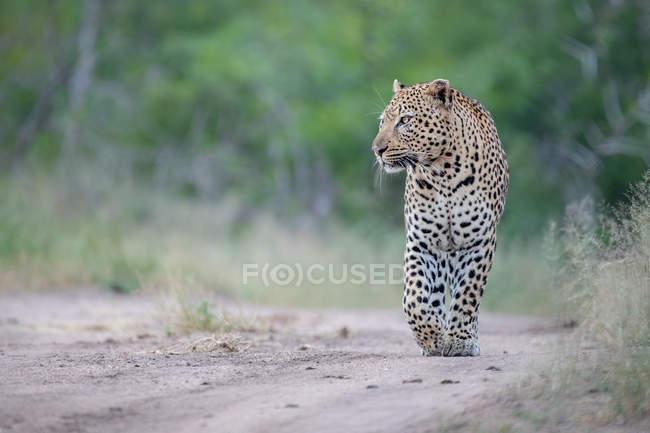 Мужчина леопард идет по песчаной дорожке, передняя лапа поднята, смотрит в сторону, Национальный парк Большого Крюгера, Африка . — стоковое фото
