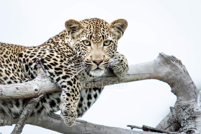 Детеныш леопарда лежит на ветвях, лапы покрыты ветвями, белый фон, Национальный парк Большого Крюгера, Африка . — стоковое фото