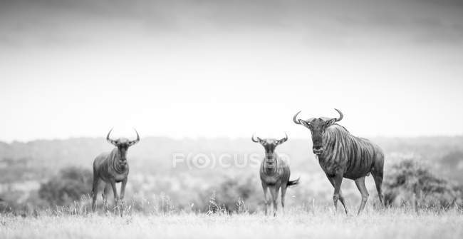 Three blue wildebeests standing in open clearing, black and white, Greater Kruger National Park, Africa. — Stock Photo