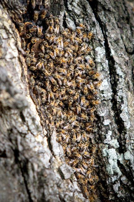 Abelhas africanas que se reúnem na colmeia em casca de árvore . — Fotografia de Stock