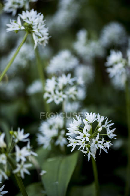 Close-up of delicate white blossoms of white garlic plants. — Stock Photo