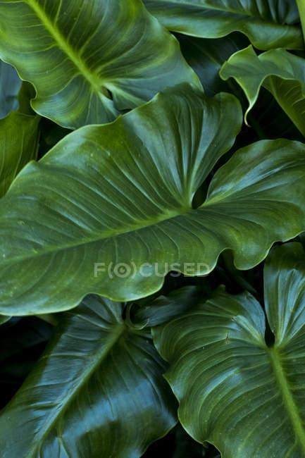 Close-up das grandes folhas Heart-shaped verdes da planta. — Fotografia de Stock