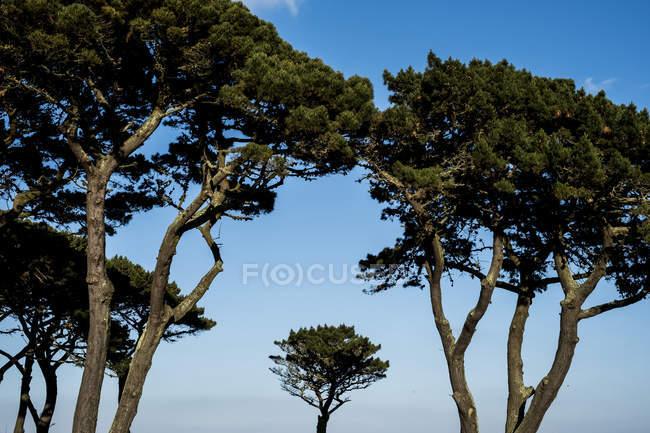 Козирки Монтерей сосни проти чисте синє небо. — стокове фото