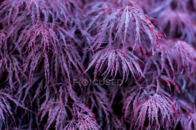 Крупним планом живий фіолетовий листя laceleaf японського кленового дерева. — стокове фото
