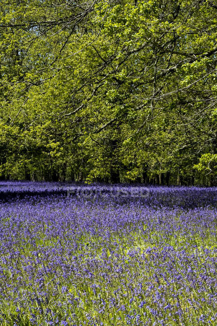 Carpet of bluebells in forest in spring. — Stock Photo