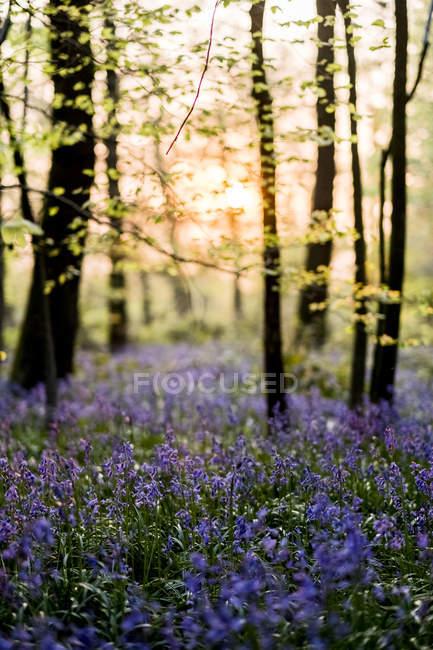 Килим з дзвіночки в лісі навесні. — стокове фото