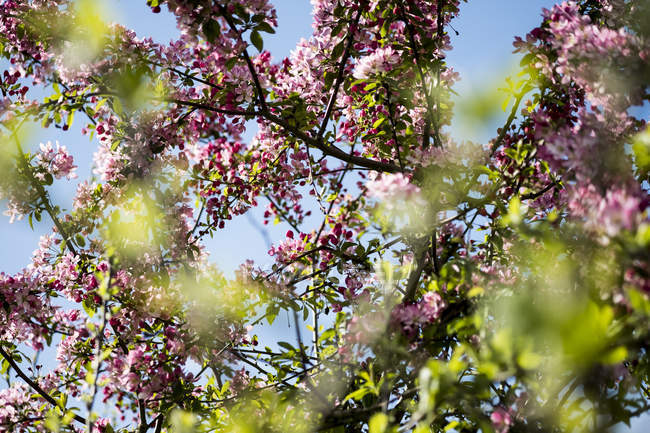 Close-up of fruit tree branches with abundance of pink and white blossoms. — Stock Photo