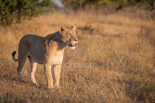 Lioness standing in brown grass, looking away with mouth open, tail curled up, Greater Kruger National Park, Sudáfrica. - foto de stock