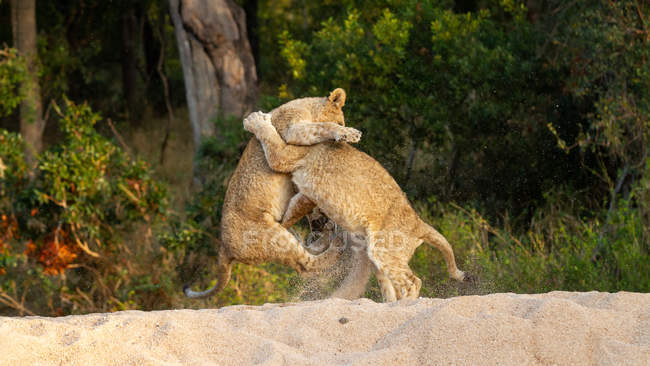 Двоє левів бавляться на задніх ногах, Національний парк Великий Крюгер, ПАР. — стокове фото