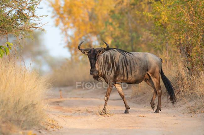 Голубой дикий зверь, идущий по песчаной дороге, смотрит в камеру с поднятой ногой, Национальный парк Greater Kruger, Южная Африка — стоковое фото