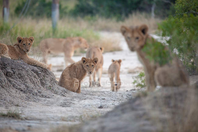 Lion oursons assis dans du sable gris, regardant à la caméra, Parc national du Grand Kruger, Afrique du Sud — Photo de stock