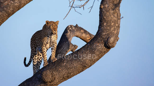 Male leopard standing on branch of tree, looking away against blue sky, Greater Kruger National Park, South Africa — Stock Photo