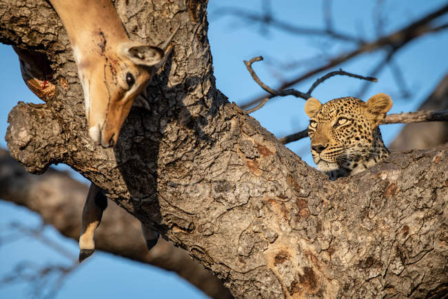 Leopard lying in fork of tree with impala kill over branch, Greater Kruger National Park, South Africa — Stock Photo