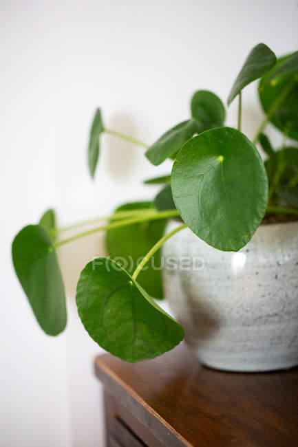 Primi piani di impianto monetario cinese in vaso di ceramica bianca. — Foto stock