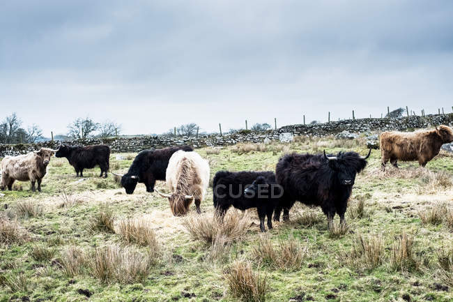 Herd of Highland cattle grazing on pasture, Cornwall, Angleterre, Royaume-Uni. — Photo de stock