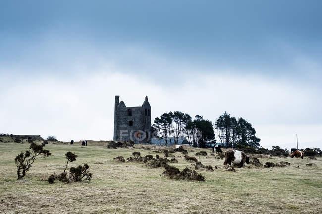 Rebaño de ganado de Galloway pastando cerca de la casa de máquinas de minas de estaño en ruinas, Cornwall, Inglaterra, Reino Unido . - foto de stock