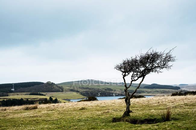 Пейзаж с одним деревом с задутой ветром формой под облачным небом, Корнуолл, Англия, Великобритания . — стоковое фото