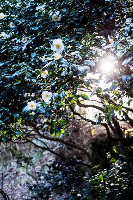 Lumière du soleil filtrant à travers les branches de l'arbre avec des fleurs blanches . — Photo de stock