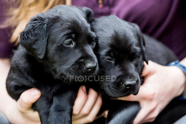 Close-up da pessoa que Petting dois filhotes de cachorro pretos de Labrador. — Fotografia de Stock