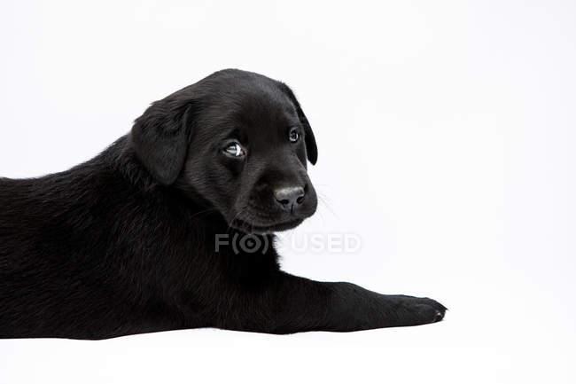 Filhote de cachorro preto de encontro de Labrador no fundo branco e olhando na câmera. — Fotografia de Stock
