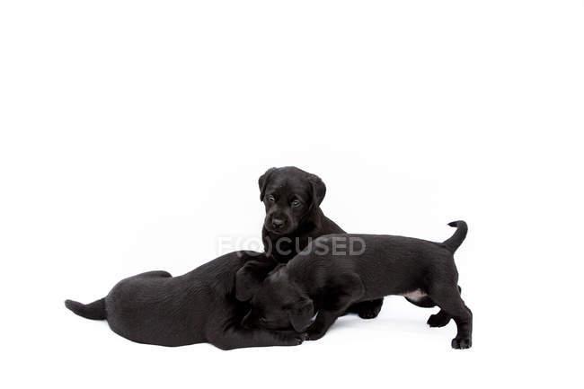 Три чорних цуценят Лабрадор грають на білому фоні. — стокове фото