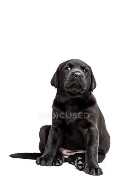 Filhote de cachorro preto de assento de Labrador no fundo branco. — Fotografia de Stock