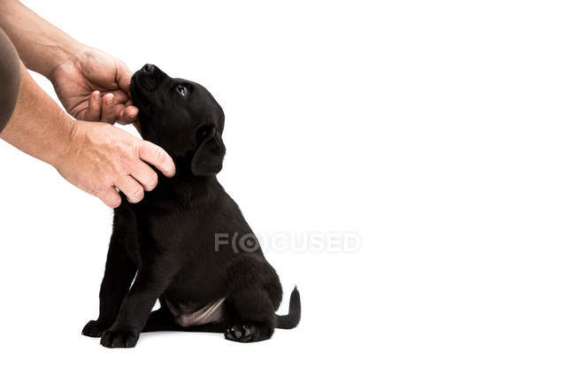 Close-up of person hands stroking black labrador puppy on white background. — Stock Photo