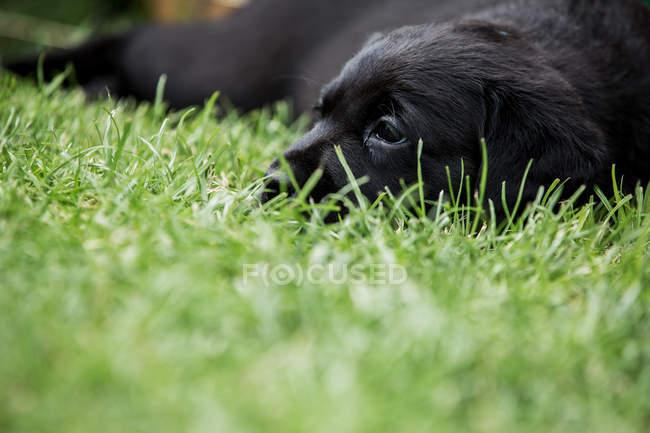 Primo piano del cucciolo labrador nero sdraiato sull'erba . — Foto stock