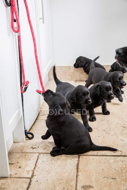 Небольшая группа черных щенков-лабрадоров в коридоре с красными собаками, висящими на стене . — стоковое фото