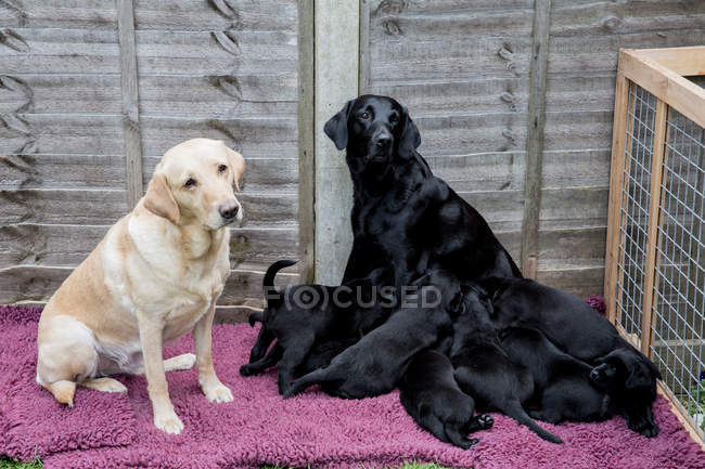 Golden and black labradors with group of cute puppies. — Stock Photo